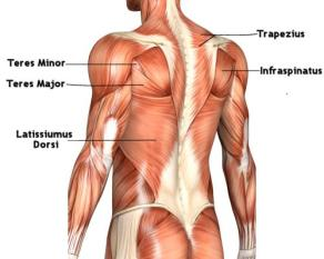 These are the back muscles. They help support movements that involve hyperextension of the back as well as support other extreme movements.
