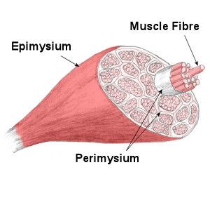 musclefibers