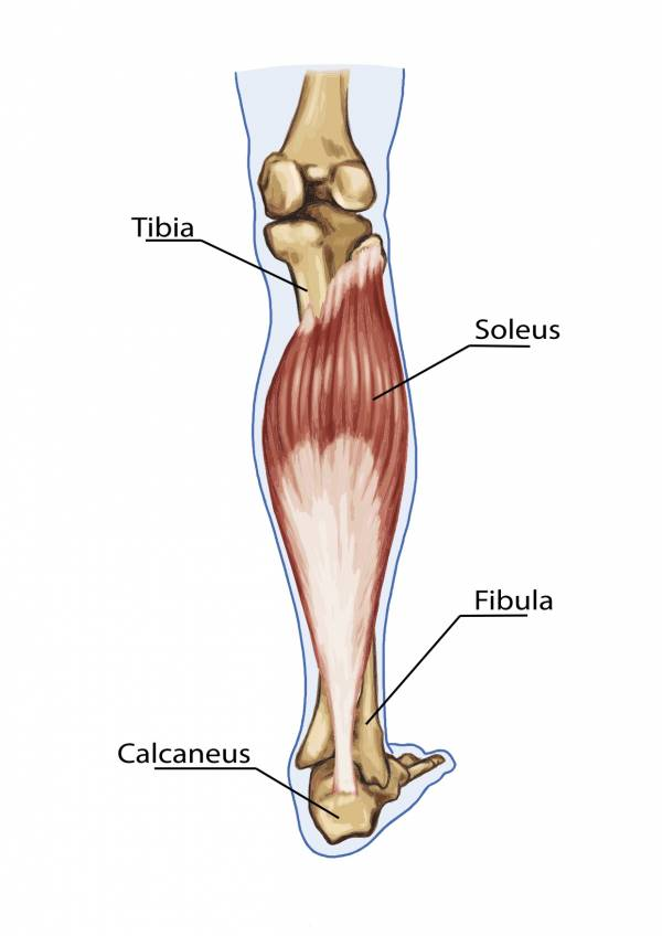 These are the calves. They are vitally important in stabilizing the ankle and providing for a higher relevé and point.