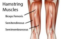 The hamstring muscles are located on the backs of the legs.